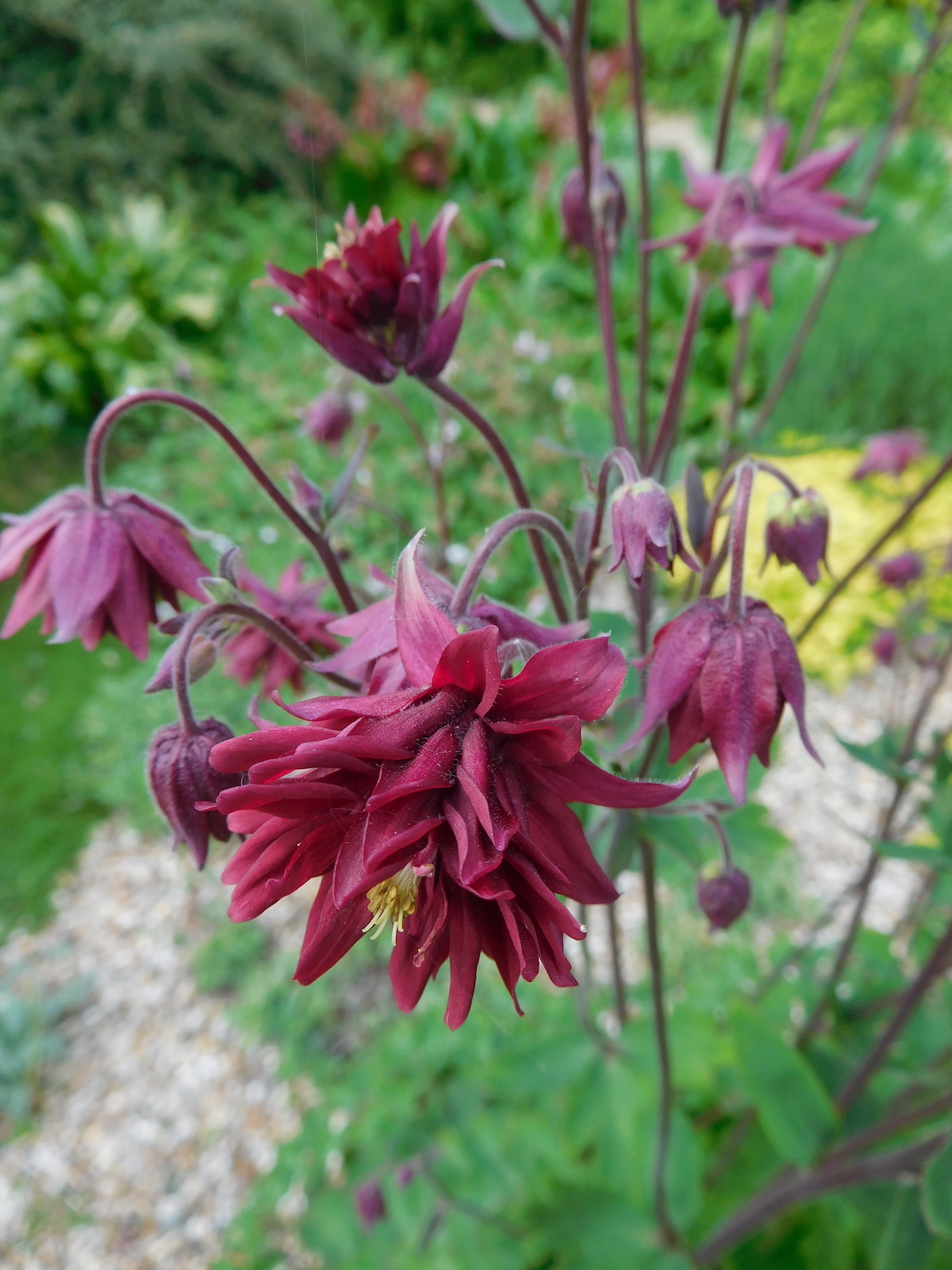 Aquilegia Var Stellata Ruby Port The Beth Chatto Gardens