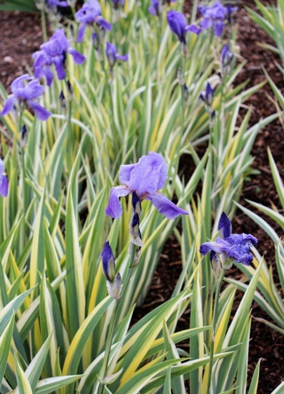 iris pallida variegata 1 53d49c9f8b