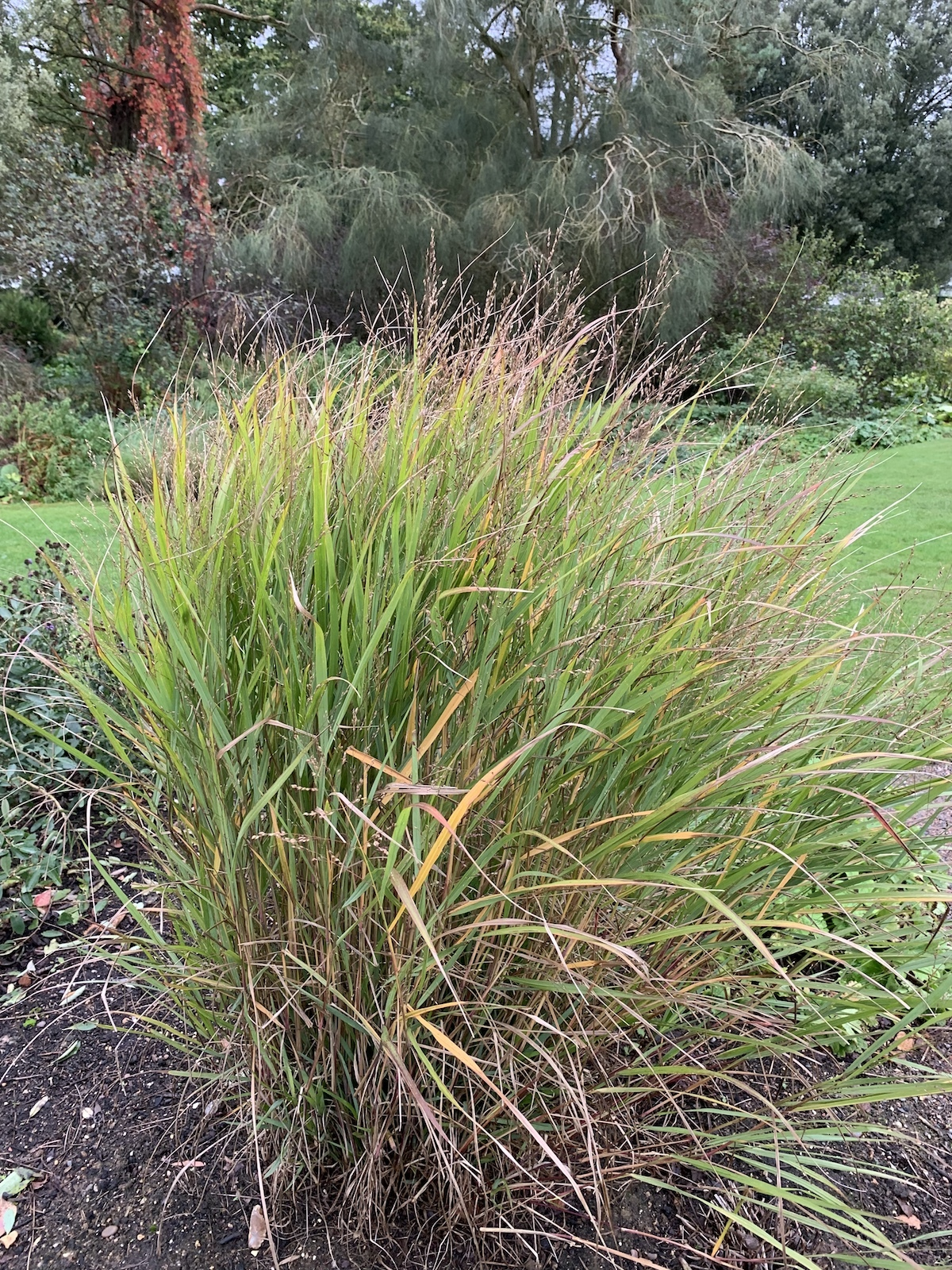 Panicum Virgatum U0026 39 Kurt Bluemel U0026 39 The Beth Chatto Gardens