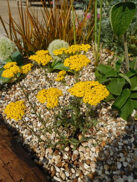 Achillea - Rock garden forms