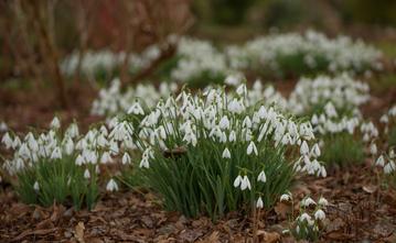 Galanthus... Snowdrops