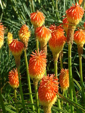 Kniphofia - Species