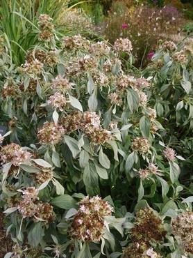 Pycnanthemum