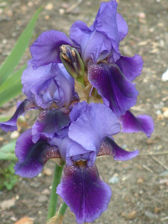 Iris 'Benton Nigel'