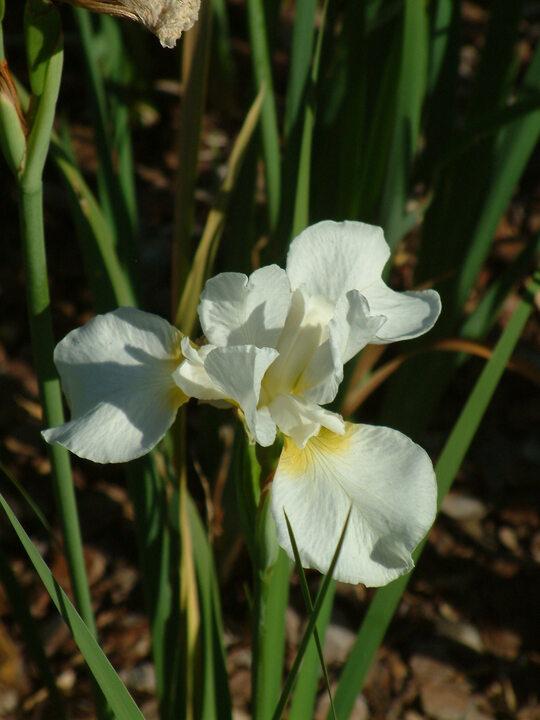 Iris 'Dreaming Yellow' (Sib)