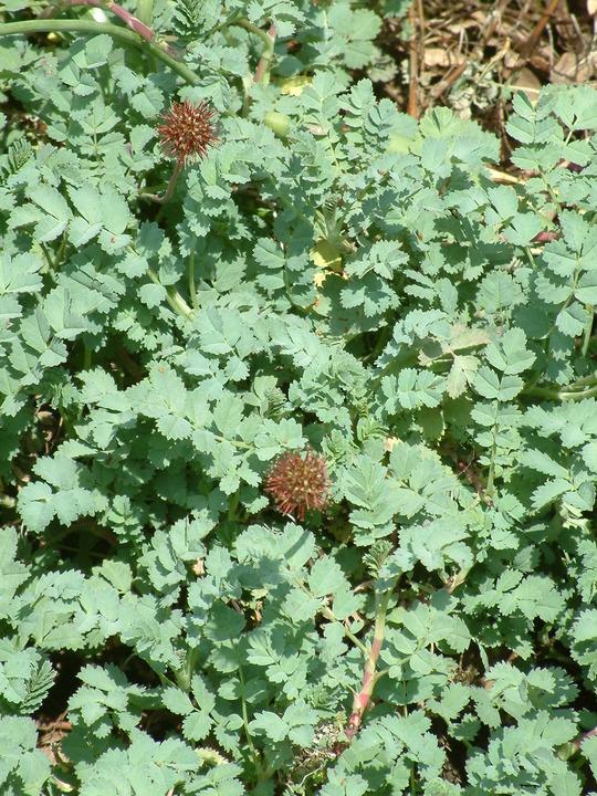 Acaena affinis