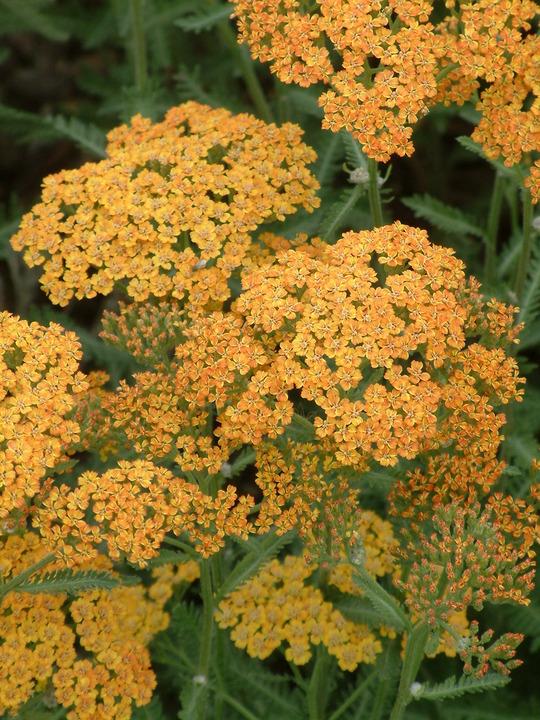 Achillea 'Inca Gold'