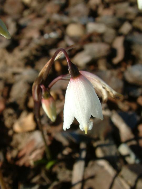 Acis autumnalis
