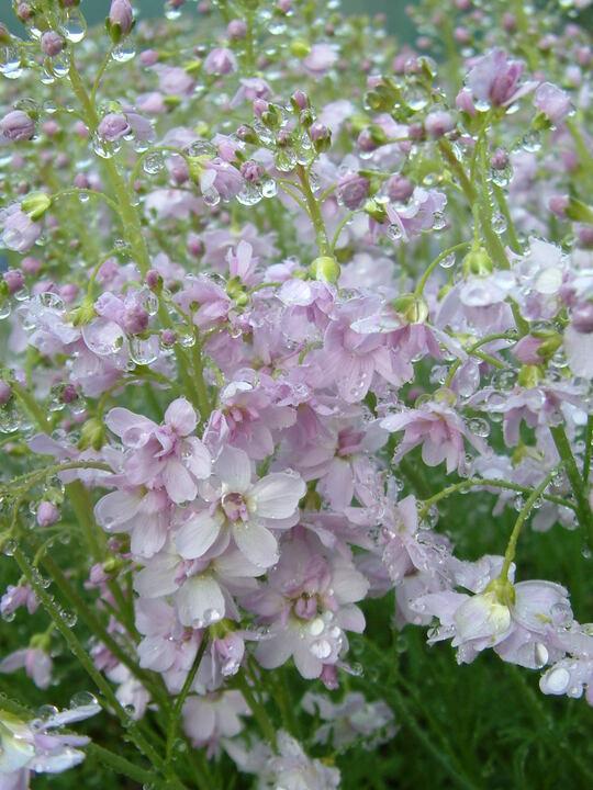 Cardamine pratensis 'Flore Pleno'