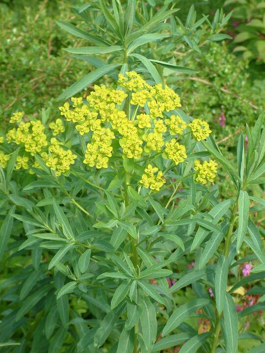 Euphorbia sarawschanica