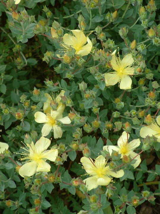 Hypericum olympicum f. uniflorum 'Citrinum'