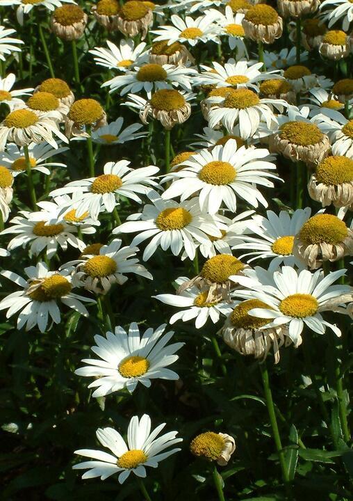 Leucanthemum 'Snowcap'