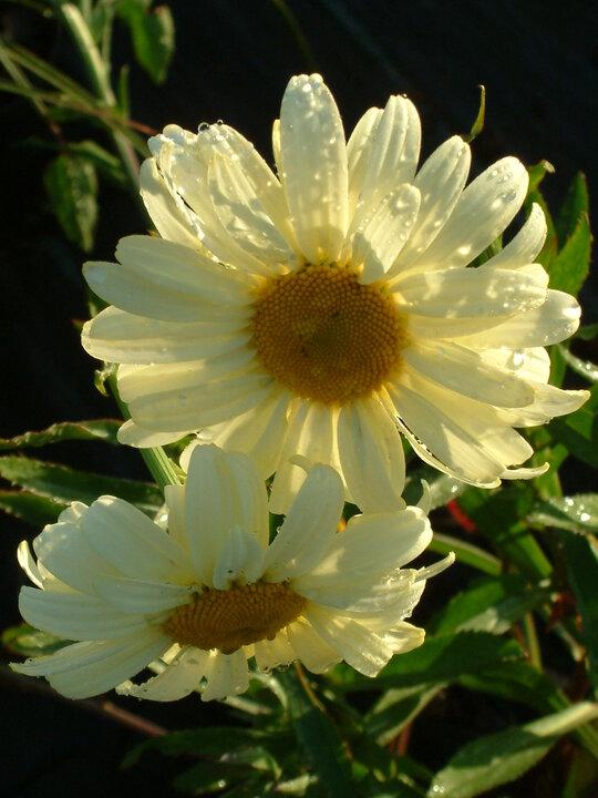 Leucanthemum 'Sonnenschein'