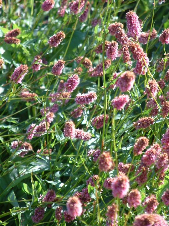 Persicaria bistorta subsp. carnea