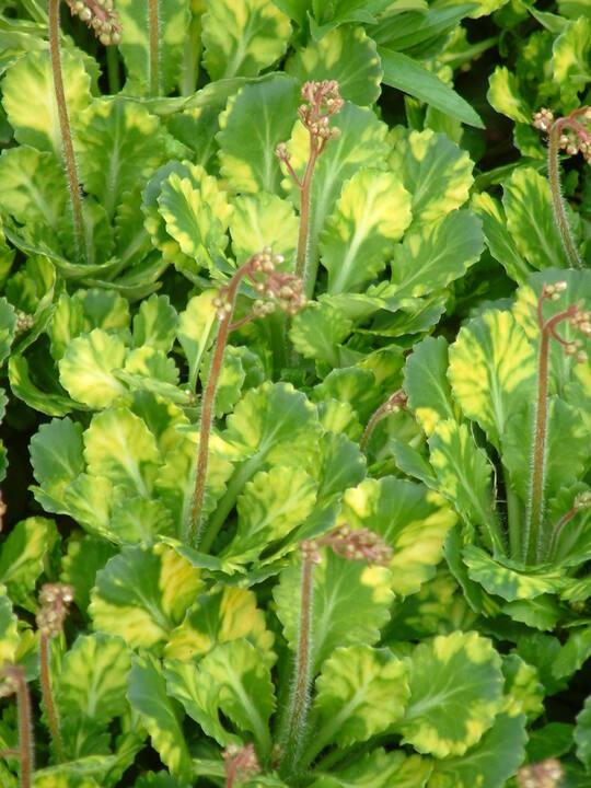 Saxifraga 'Aureopunctata'