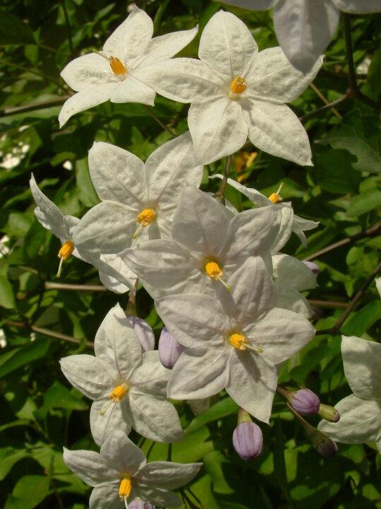 Solanum laxum 'Crech ar Pape'