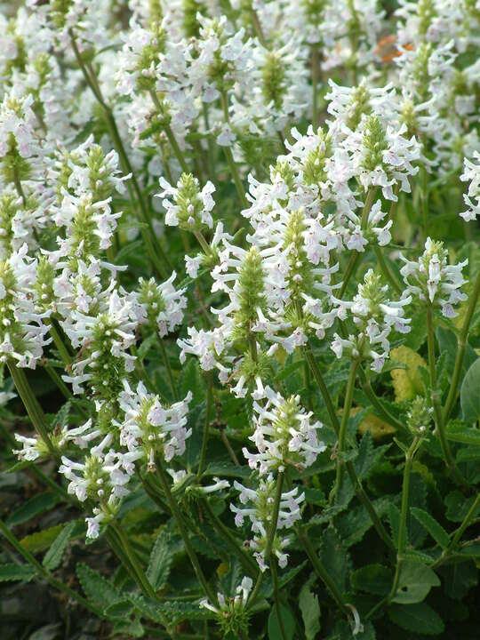 Betonica macrantha 'Alba'