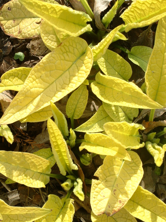 Symphytum ibericum 'All Gold'