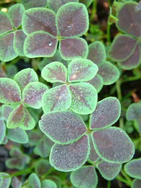 Trifolium repans 'Purpurascens Quadrifolium'