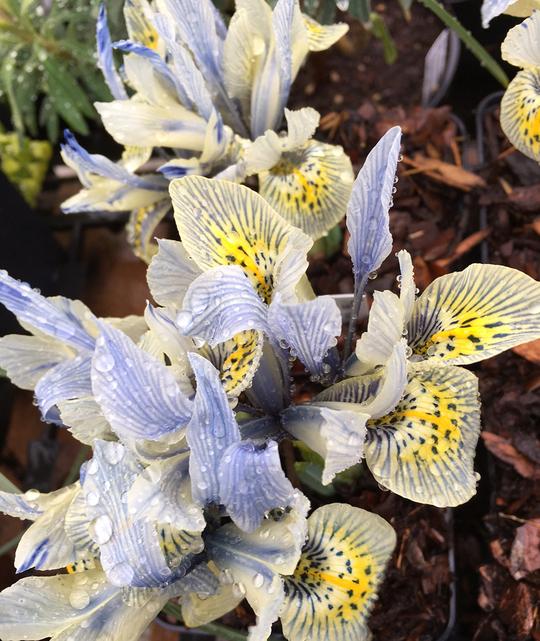 Iris 'Katharine Hodgkin' (Reticulata)