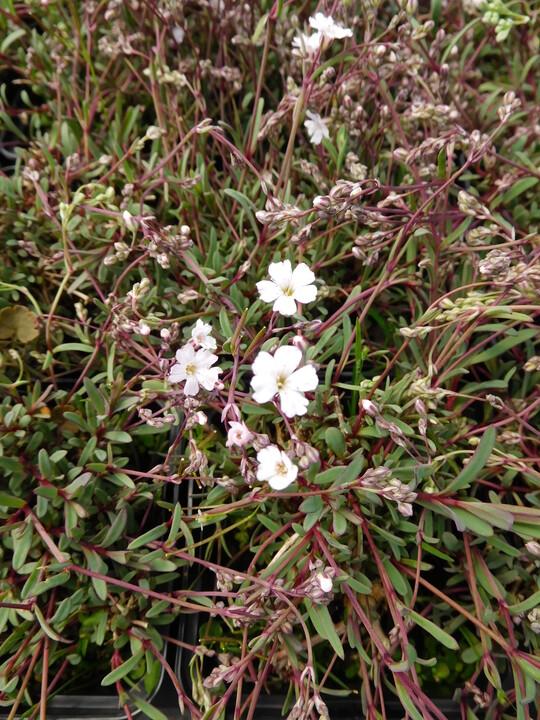 Gypsophila repens 'Dubia'