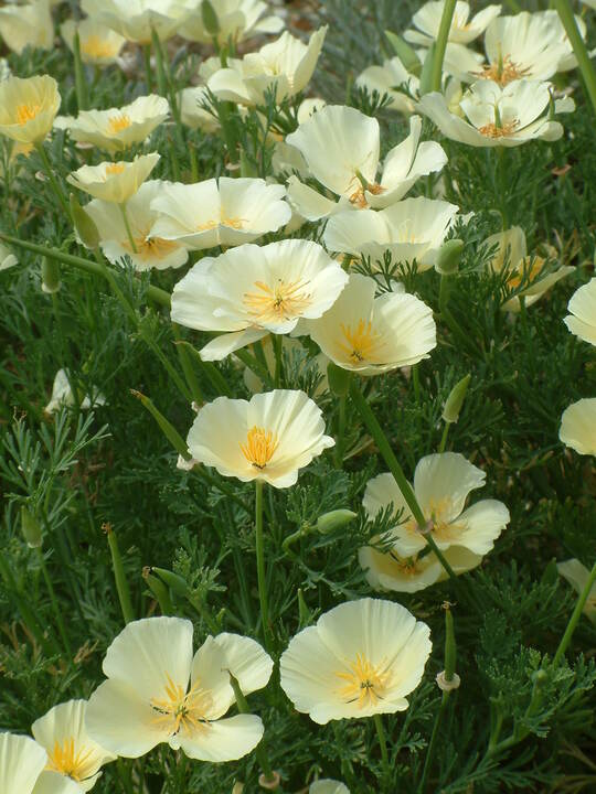 Eschscholzia californica pale cream form