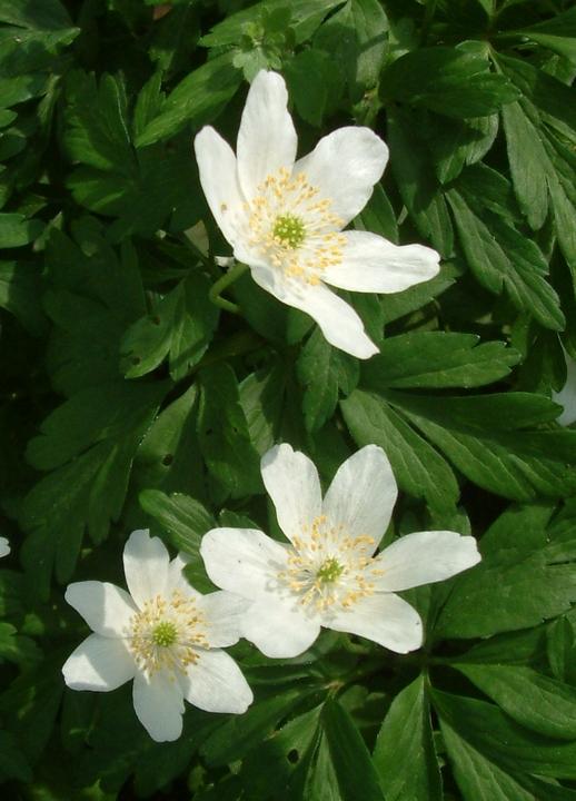 Anemone nemorosa 'Lychette'