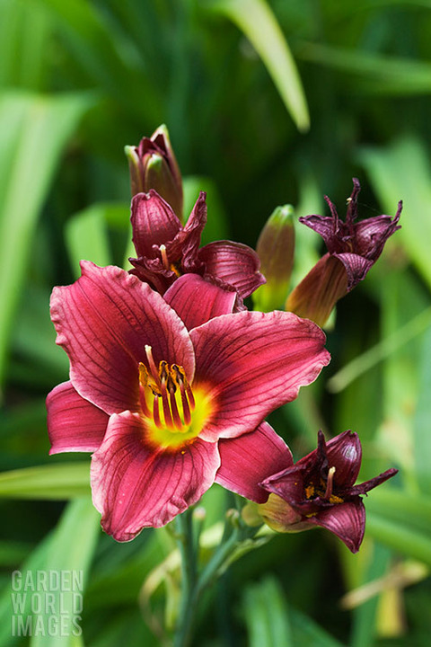 Hemerocallis 'Little Red Hen'