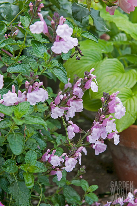 Salvia x jamensis 'Peter Vidgeon'