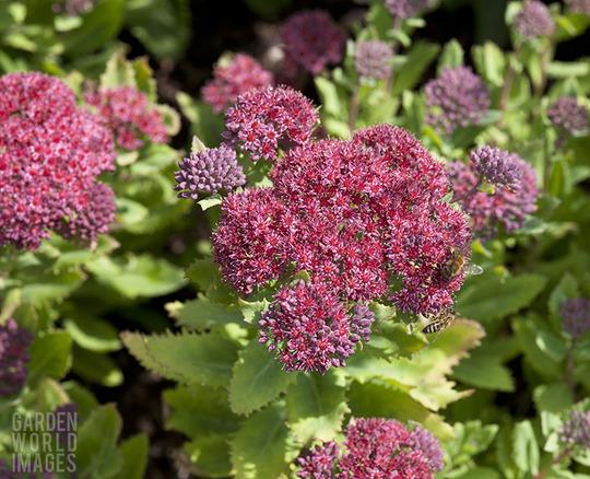 Hylotelephium telephium subsp. fabaria var. borderei