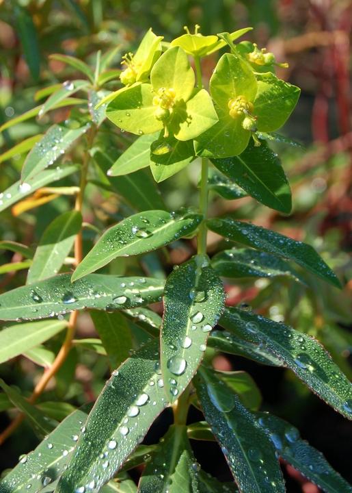 Euphorbia donii 'Amjillasa'
