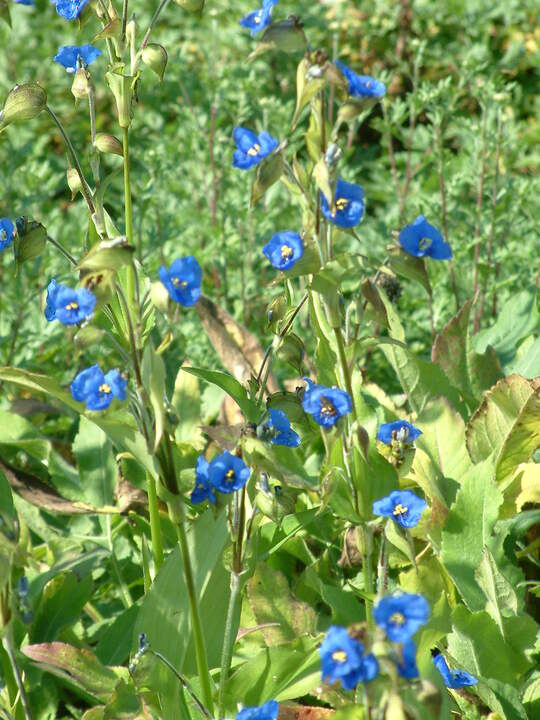 Commelina tuberosa Coelestis Group