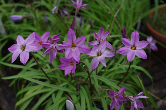 Ipheion uniflorum 'Charlotte Bishop'