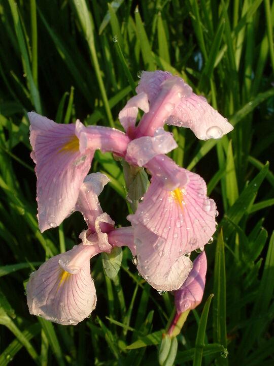 Iris ensata 'Rose Queen'