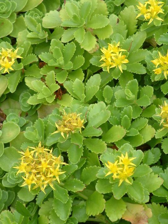 Sedum spurium 'Green Mantle'