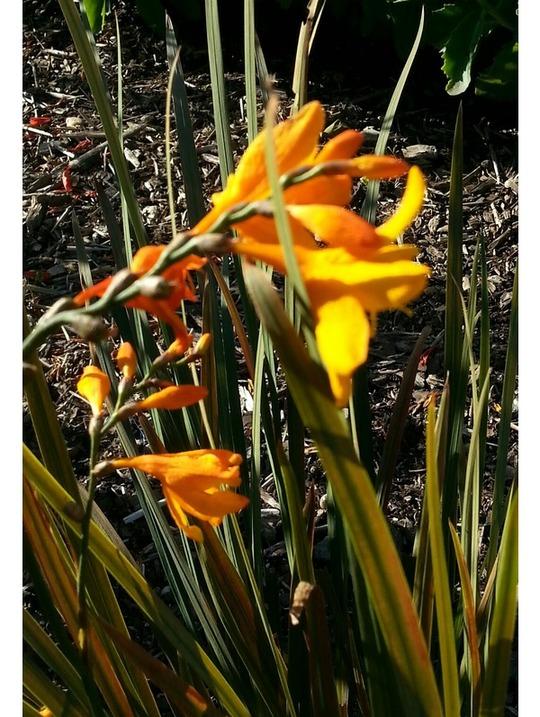 Crocosmia x crocosmiiflora 'Twilight Fairy Gold'