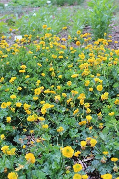 Ranunculus constantinopolitanus 'Plenus'