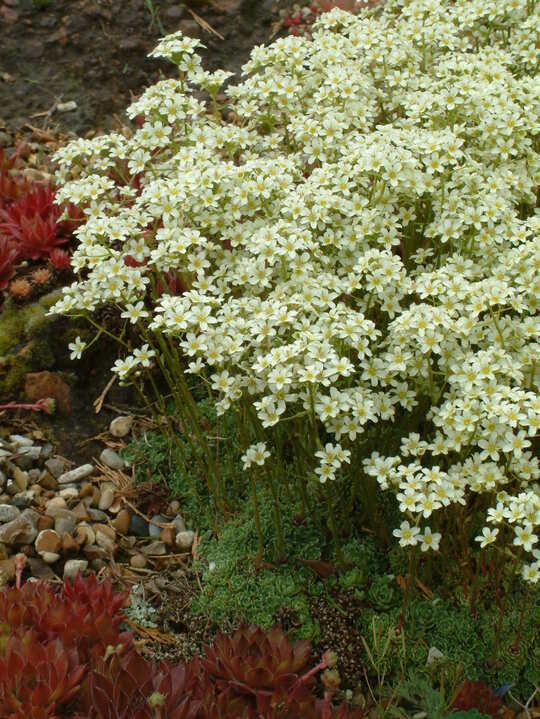 Saxifraga Encrusted Form