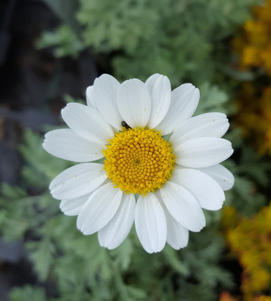 Anthemis 'Tetworth'