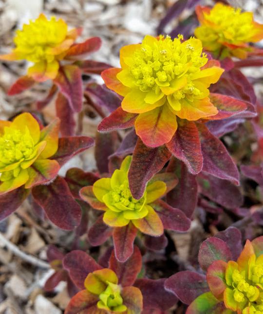 Euphorbia epithymoides 'Bonfire'