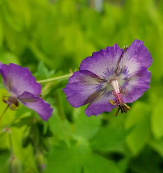 Geranium phaeum 'Robin's Angel Eyes'