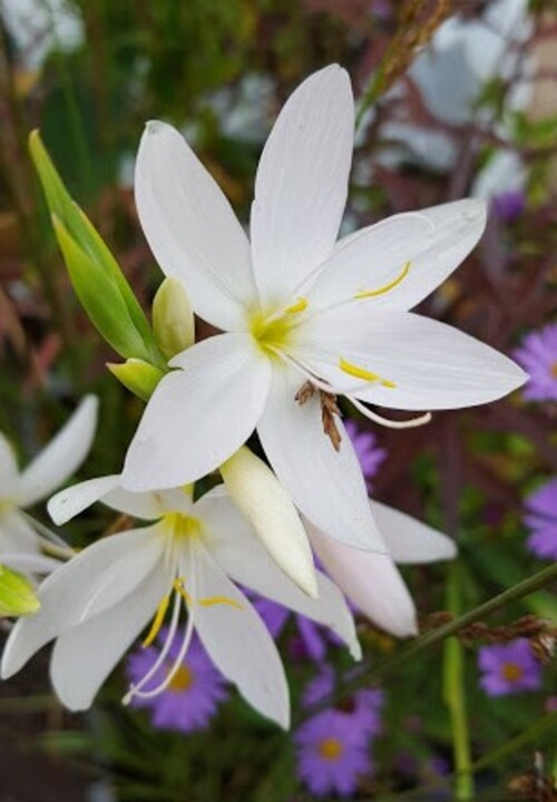 Hesperantha coccinea good white form