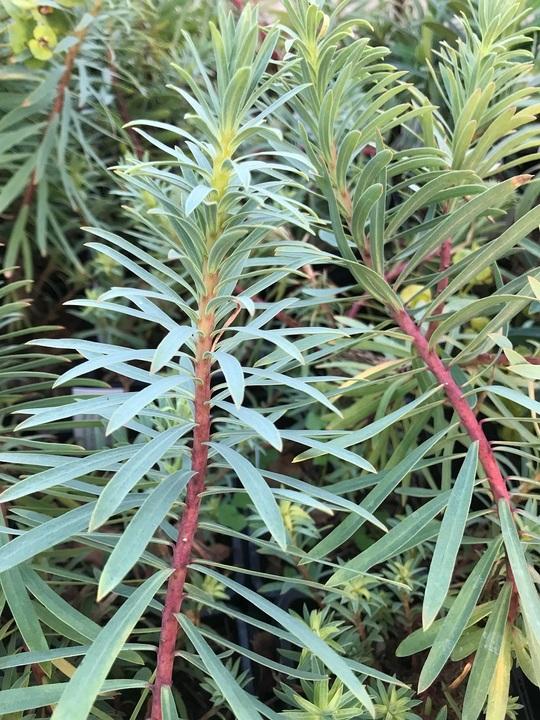 Euphorbia 'Copton Ash'