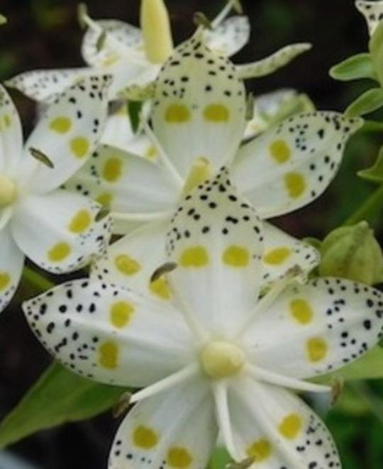 Swertia bimaculata