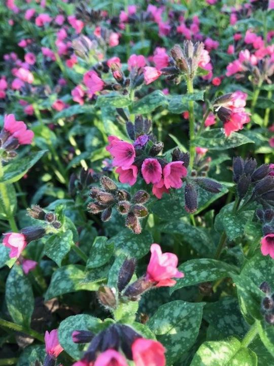 Pulmonaria 'Patric's Early Dawn'