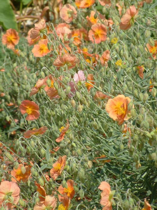 Helianthemum 'Cheviot'