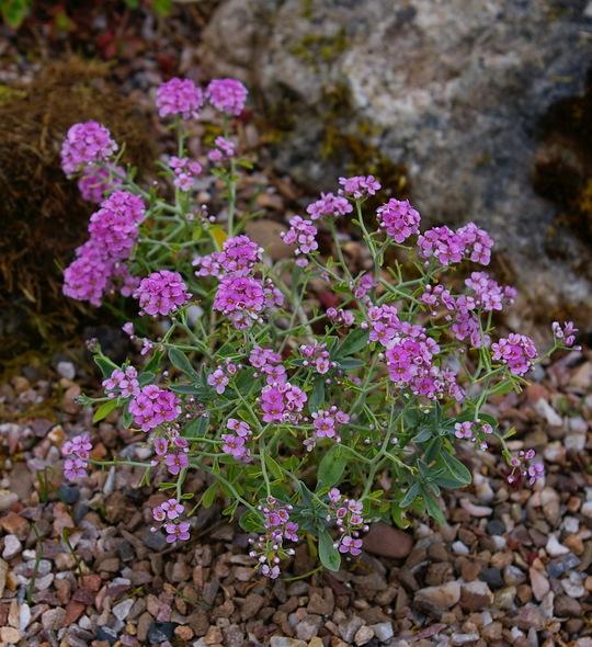 Hormathophylla spinosa 'Roseum'