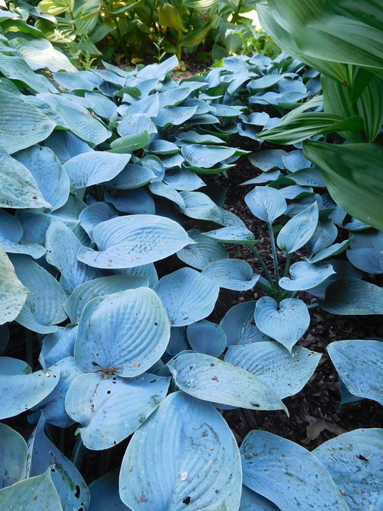 Hosta (Tardiana Group) 'Blue Danube'