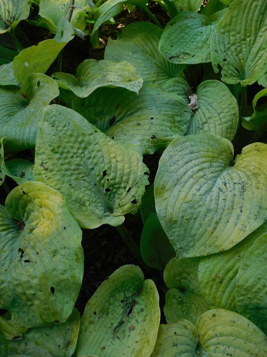 Hosta 'Golden Sunburst' (sieboldiana)