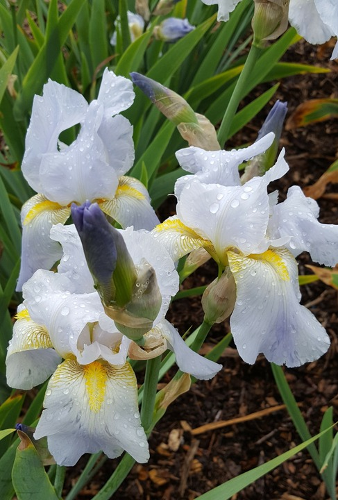 Iris pale blue, possible Benton Iris